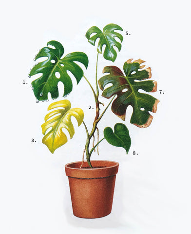 Troubleshooting: Monstera