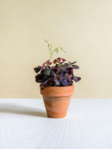 Oxalis triangularis mini