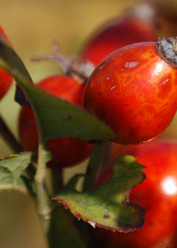 Why I love our Rosehip Oil