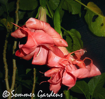 Brugmansia 'Raspberry Ripple' - 3 Unrooted Cuttings