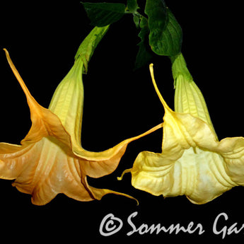 Brugmansia 'Tangerine King' - Unrooted Cuttings