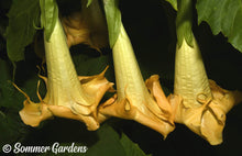 Brugmansia 'Golden Summer' - Hybrid Angel Trumpet Plant