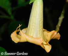 Brugmansia 'Golden Summer' - 3 Unrooted Cuttings