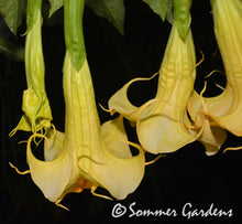 Brugmansia 'Inez Chapman' - Unrooted Cuttings