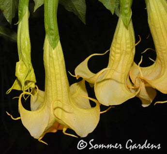 Brugmansia 'Inez Chapman' - 3 Unrooted Cuttings