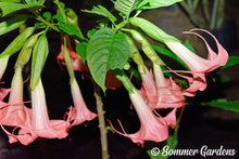 Brugmansia 'Sommer Peaks' - 3 Unrooted Cuttings