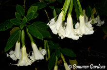 Brugmansia 'White Dove' - 3 Unrooted Cuttings