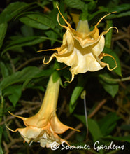 Brugmansia 'Angels Golden Dreams' - Hybrid Angel Trumpet Plant