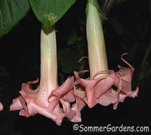 Brugmansia 'Angels Exotic' - Unrooted Cuttings