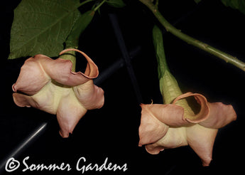 Brugmansia 'Canadian Sunset' - Unrooted Cuttings