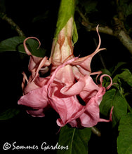 Brugmansia 'Dalen's Pink Amour' - Unrooted Cuttings