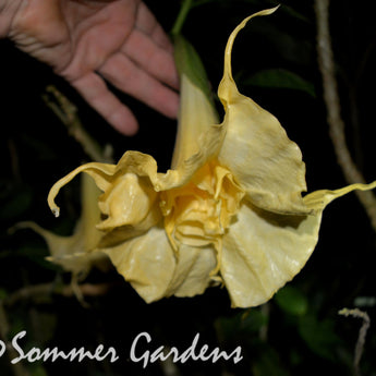 Brugmansia 'White Russian' - Unrooted Cuttings