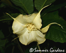 Brugmansia 'White Russian' - Hybrid Angel Trumpet Plant