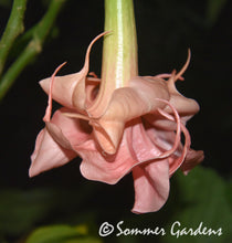 Brugmansia 'Pink Delicious' - Hybrid Angel Trumpet Plant