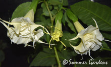 Brugmansia 'Snow Angel' - Unrooted Cuttings