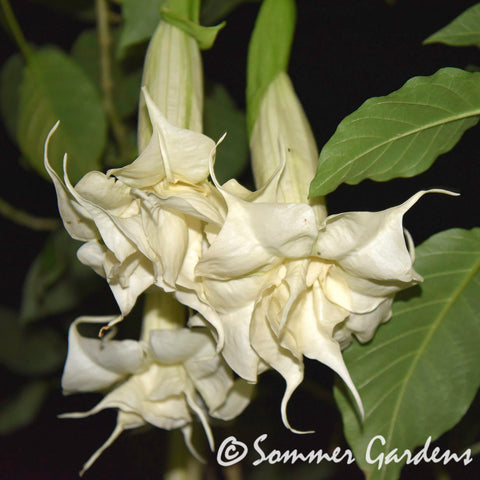 Brugmansia 'Moonlight Dancer' - Hybrid Angel Trumpet Plant