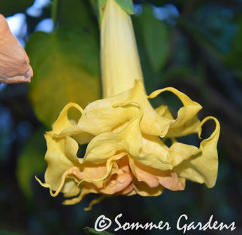 Brugmansia 'Sommer's Centennial Belle' - Unrooted Cuttings