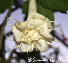 Brugmansia 'Sommer Dreams' - Unrooted Cuttings