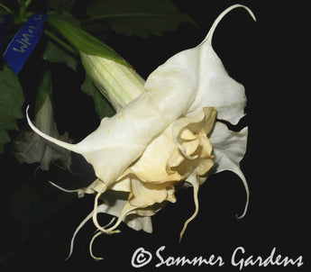 Brugmansia 'White Magic' - Hybrid Angel Trumpet Plant