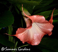 Brugmansia 'Xena' - Unrooted Cuttings