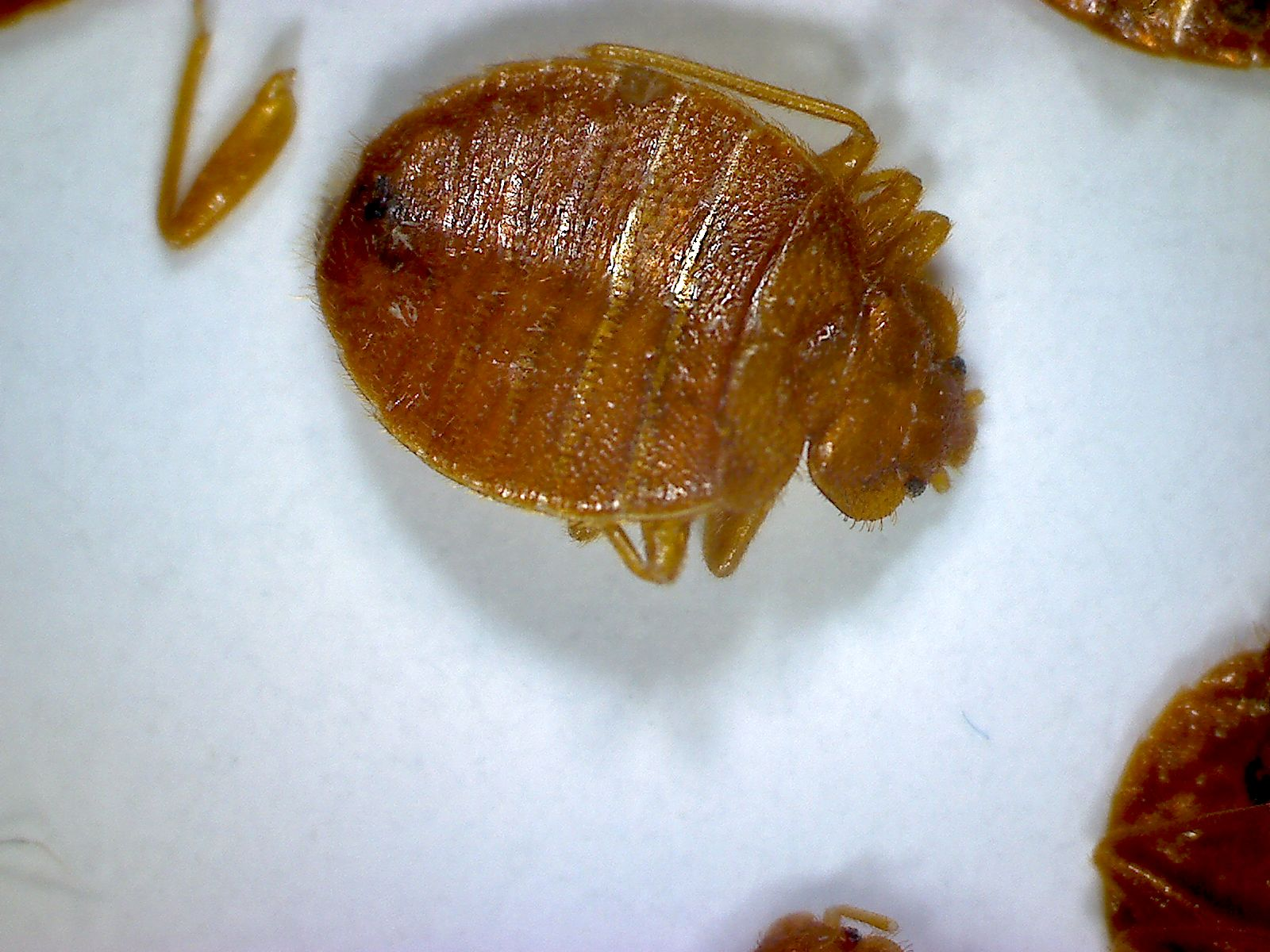 Zarbeco-MiScope-Megapixel-2-bedbugs