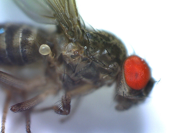 microscopic fruit fly