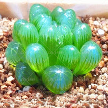 200pcs Rare Crystal Clear Beauty Succulents plant Potted plants Ornamental Plant for home garden bonsai - ShopeeShipee