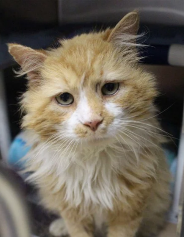 Abandoned Cat Walks 12 Miles Back to Owners that Gave Him Up