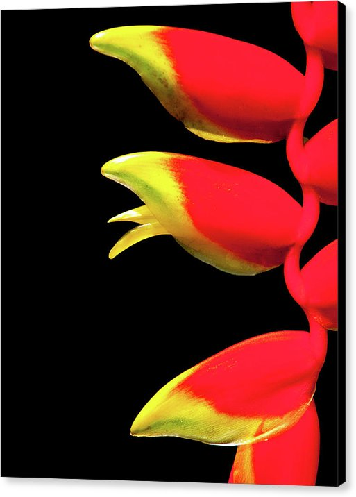 Heliconia Triplet - Canvas Print