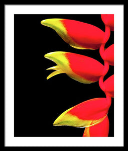 Heliconia Triplet - Framed Print