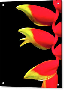 Heliconia Triplet - Acrylic Print