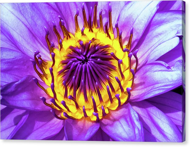 Waterlily - Canvas Print