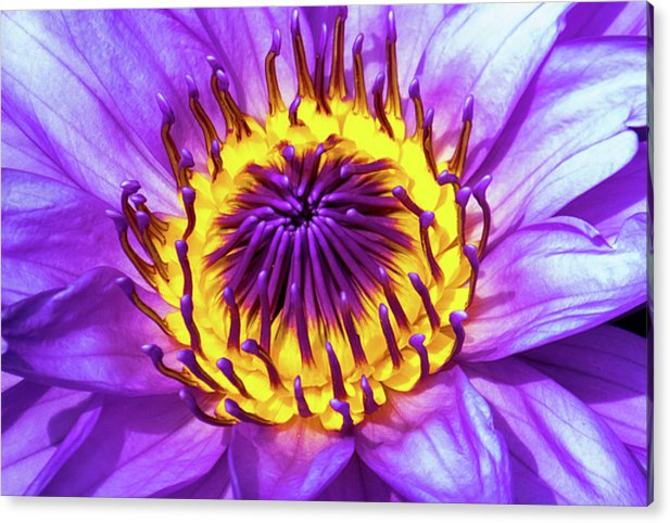 Waterlily - Acrylic Print