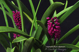 Arpophyllum alpinum – The hyacinth orchid - Orchid Design