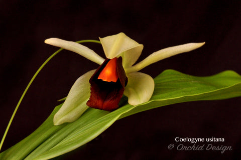 "Coelogyne usitana – The ""Bird in Flight"" Orchid – Rare Species - Orchid Design"
