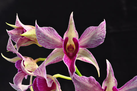 Dendrobium Fire Wings – Long lasting! - Orchid Design