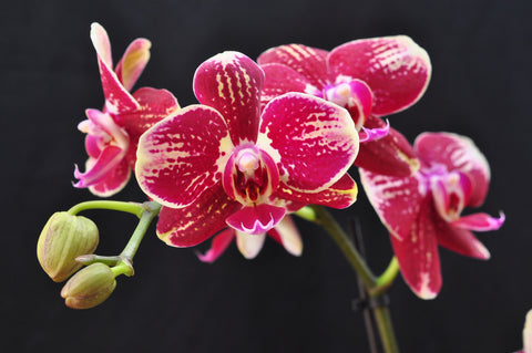 Phalaenopsis Younghome Coco 'KHM2445' - Orchid Design
