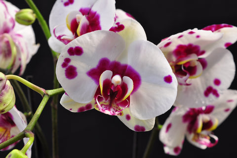 Dtps. I-Hsin White Tiger - Orchid Design