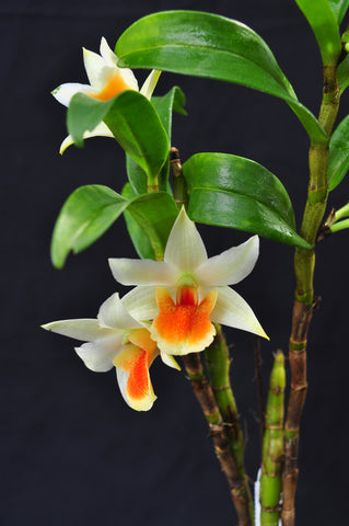 Den. Hsinying Frosty Maree – Long Lasting - Orchid Design