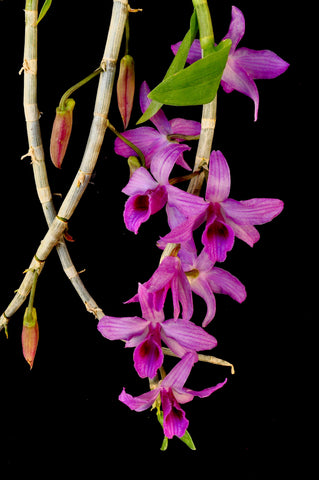 Dendrobium anosmum 'Purple' – Raspberry Fragrant - Orchid Design