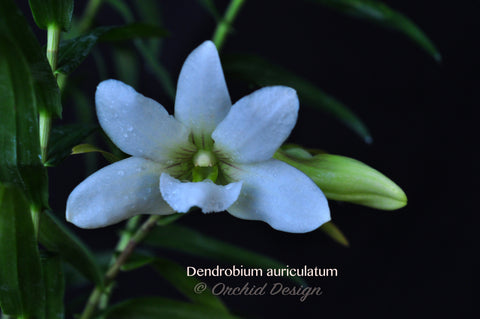 Dendrobium auriculatum–Fragrant Species–4 Season Bloomer - Orchid Design