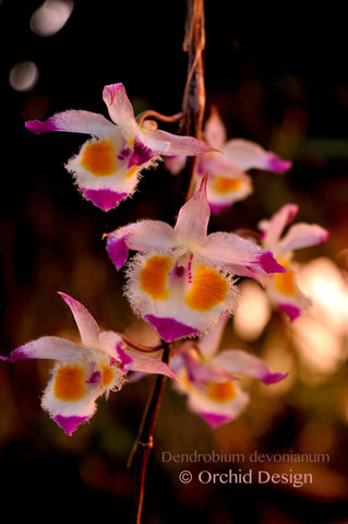 Dendrobium devonianum – Species – Fragrant - Orchid Design
