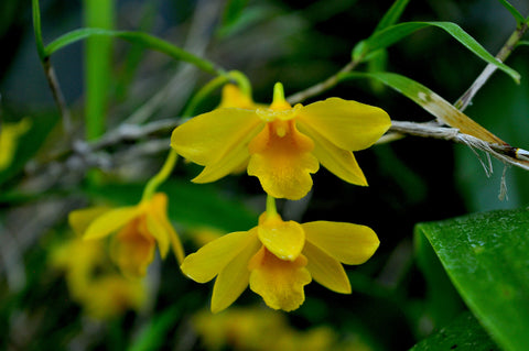 Dendrobium hancockii – Honey Fragrance! - Orchid Design