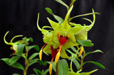 Dendrobium tobaense variety giganteum AM/AOS – Beautiful – Rare Species - Orchid Design