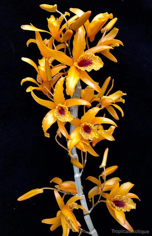 Dendrobium Chanthaboon Sunrise - Orchid Design