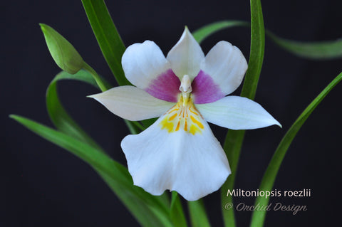 Miltoniopsis roezlii – Species – Rose Fragrant - Orchid Design