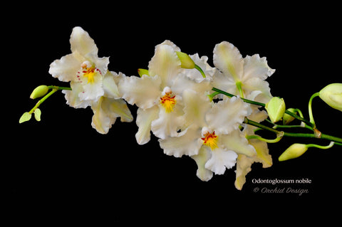 Odontoglossum nobile – Species - Orchid Design