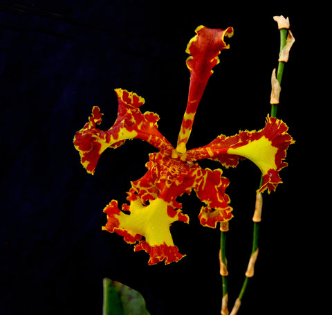 Oncidium Mariposa 'Special' – Three Lips - Orchid Design
