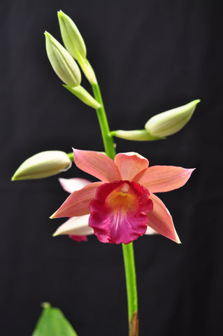 Phaius Lady Ramona Harris AM/AOS - Orchid Design