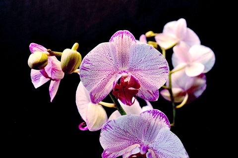 Phalaenopsis I-Hsin Charming Cherry - Orchid Design